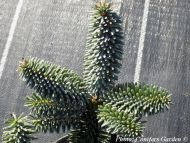 Abies x insignis