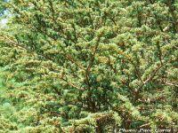 Cedrus libani var. brevifolia