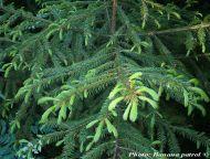 Picea koraiensis