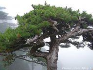 Pinus hwangshanensis